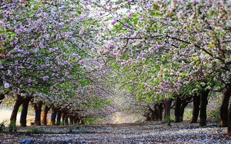 карликовой яблони